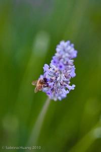Lavender-8