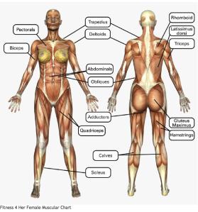 Female Muscular Chart